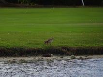 κυνήγι πουλιών ελών Στοκ φωτογραφία με δικαίωμα ελεύθερης χρήσης