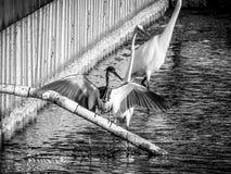 κυνήγι πουλιών ελών Στοκ Φωτογραφία