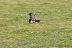 Κυνήγι πουλιών του θηράματος για το θύμα του στο αρπακτικό πουλί χλόης Στοκ φωτογραφία με δικαίωμα ελεύθερης χρήσης