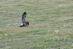 Κυνήγι πουλιών του θηράματος για το θύμα του στο αρπακτικό πουλί χλόης Στοκ Φωτογραφίες