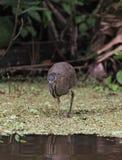Κυνήγι πουλιών ερωδιών στο εθνικό πάρκο Tortuguero, Κόστα Ρίκα Στοκ Φωτογραφίες
