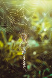 Κυνήγι της αράχνης στον Ιστό Στοκ Φωτογραφία