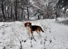 Κυνήγι του σκυλιού στο χειμερινό δάσος Στοκ Εικόνες