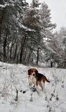 Κυνήγι του σκυλιού στο χειμερινό δάσος Στοκ εικόνα με δικαίωμα ελεύθερης χρήσης