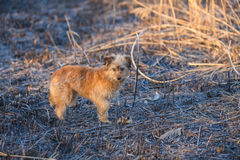 Κυνήγι του σκυλιού το ομιχλώδες πρωί Στοκ Εικόνες