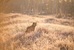 Κυνήγι του σκυλιού το ομιχλώδες πρωί Στοκ φωτογραφία με δικαίωμα ελεύθερης χρήσης