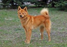 Κυνήγι του σκυλιού καρελιανός-φιλανδικά Λάικα Στοκ φωτογραφία με δικαίωμα ελεύθερης χρήσης