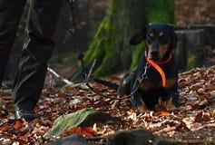 Κυνήγι του σκυλιού που βρίσκεται στα φύλλα Στοκ φωτογραφίες με δικαίωμα ελεύθερης χρήσης
