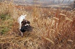Κυνήγι του σκυλιού πουλιών που ανακτά το φασιανό Στοκ εικόνες με δικαίωμα ελεύθερης χρήσης