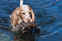 Κυνήγι του σκυλιού που κρατά ένα θήραμα στοκ φωτογραφία με δικαίωμα ελεύθερης χρήσης