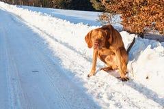Κυνήγι του σκυλιού σε μια χιονώδη πεδιάδα Ουγγρικός δείκτης - Vizsla Χειμερινό κυνήγι Στοκ εικόνα με δικαίωμα ελεύθερης χρήσης