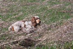 κυνήγι του σκυλιού στον τομέα Στοκ Εικόνα