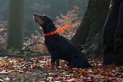 Κυνήγι του σκυλιού στο δάσος Στοκ Φωτογραφία