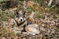 Κυνήγι του σκυλιού στο δάσος Στοκ φωτογραφία με δικαίωμα ελεύθερης χρήσης