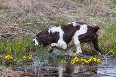 Κυνήγι του σκυλιού στο κυνήγι πουλιών Στοκ Εικόνα