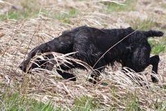 Κυνήγι του σκυλιού στο κυνήγι πουλιών Στοκ Εικόνες