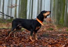 Κυνήγι του σκυλιού στο ομιχλώδες δάσος Στοκ φωτογραφία με δικαίωμα ελεύθερης χρήσης