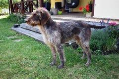 Κυνήγι του σκυλιού την ηλιόλουστη ημέρα, γερμανικός wirehaired δείκτης στοκ εικόνες με δικαίωμα ελεύθερης χρήσης