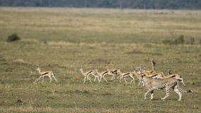 Κυνήγι τσιτάχ στο Maasai mara, Κένυα στοκ εικόνες