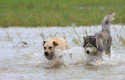 κυνήγι των σκυλιών Στοκ Εικόνα