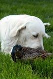 κυνήγι 2 σκυλιών Στοκ Φωτογραφία