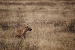 Κυνήγι Hyena στο εθνικό πάρκο Ngorongoro (Τανζανία) Στοκ Εικόνες