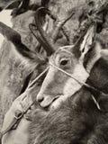 Κυνηγημένο ζώο στοκ φωτογραφία με δικαίωμα ελεύθερης χρήσης