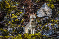 κυνηγός Στοκ εικόνες με δικαίωμα ελεύθερης χρήσης
