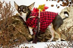Κυνηγός Chihuahua Στοκ Εικόνες