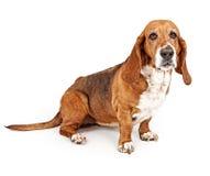 κυνηγόσκυλο μπασέ Στοκ Εικόνα