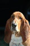 κυνηγόσκυλο μπασέ Στοκ Φωτογραφίες