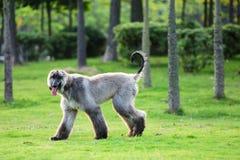 κυνηγόσκυλο Στοκ εικόνα με δικαίωμα ελεύθερης χρήσης