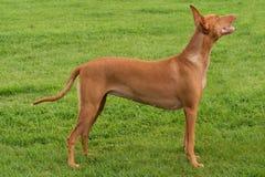 κυνηγόσκυλο pharaoh Στοκ εικόνα με δικαίωμα ελεύθερης χρήσης