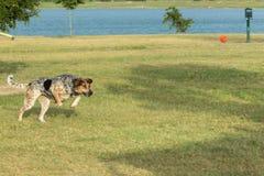 Κυνηγόσκυλο με το μάτι του στη σφαίρα σε ένα πάρκο σκυλιών Στοκ Εικόνα