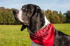 Κυνηγόσκυλο μπασέ με το κόκκινο bandana Στοκ Φωτογραφίες