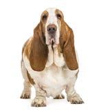 Κυνηγόσκυλο μπασέ που στέκεται και που εξετάζει τη κάμερα Στοκ φωτογραφία με δικαίωμα ελεύθερης χρήσης
