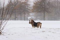 Κυνηγόσκυλο μπασέ στο χιόνι Στοκ φωτογραφία με δικαίωμα ελεύθερης χρήσης