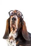 Κυνηγόσκυλο μπασέ Στοκ Εικόνες
