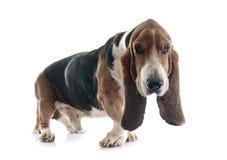 Κυνηγόσκυλο μπασέ Στοκ Φωτογραφία