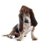 Κυνηγόσκυλο μπασέ στοκ εικόνες με δικαίωμα ελεύθερης χρήσης