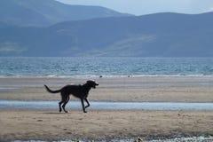Κυνηγόσκυλο στην παραλία στοκ εικόνα