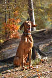 κυνηγόσκυλο Στοκ εικόνες με δικαίωμα ελεύθερης χρήσης