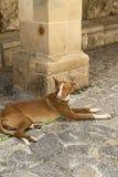 κυνηγόσκυλο ibizan Στοκ εικόνες με δικαίωμα ελεύθερης χρήσης