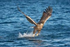 Κυνηγώντας αετός θάλασσας στοκ εικόνα