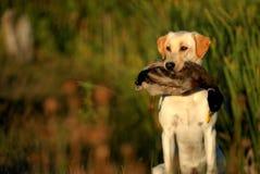 Κυνηγώντας κίτρινο σκυλί του Λαμπραντόρ Στοκ Φωτογραφίες