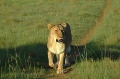 κυνηγώντας λιονταρίνα Στοκ Φωτογραφίες