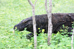 Κυνηγώντας σαύρα οργάνων ελέγχου, νησί Komodo (Ινδονησία) Στοκ Εικόνες