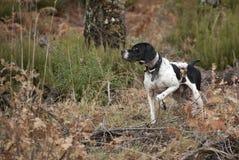 Κυνηγώντας σκυλί, φυλή δεικτών, υπόδειξη στοκ φωτογραφίες με δικαίωμα ελεύθερης χρήσης