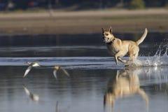 Κυνηγώντας σκυλί Στοκ εικόνες με δικαίωμα ελεύθερης χρήσης