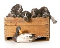 Κυνηγώντας σκυλιά Στοκ εικόνες με δικαίωμα ελεύθερης χρήσης